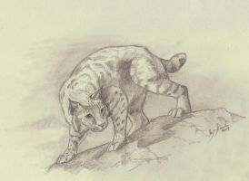Bobcat by Eurwentala