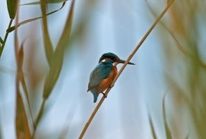 Common Kingfisher by thisable