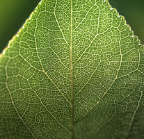 Venis of a leaf. by TheWhiteInTheBlack