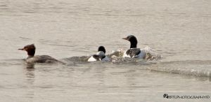 Common Mergansers by TearsofEndearment