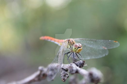 Dragonfly by RevinFilms
