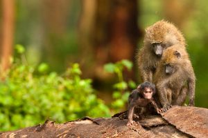 Baboon 1 by catman-suha