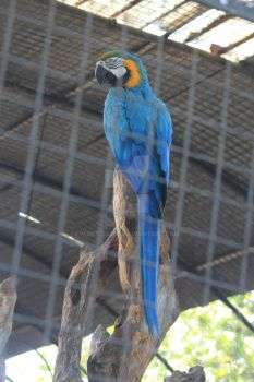 Blue Parrot by mailtoejas