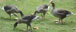 Unidentifed Geese 4 by Dan-S-T