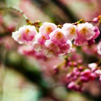 Cherry Blossom by WouterPera