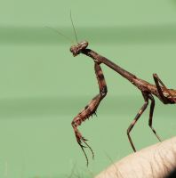 Small Carolina Mantid by duggiehoo
