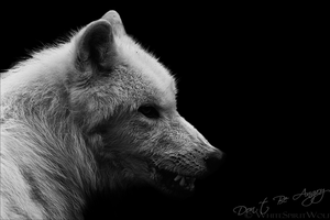 Polar Wolf: Do not be angry by WhiteSpiritWolf