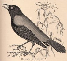 Vintage Crow Drawing by HauntingVisionsStock