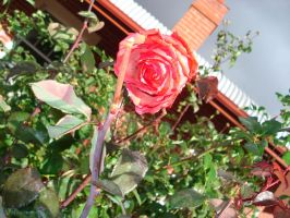 Angle on a Rose by CuriouserX10