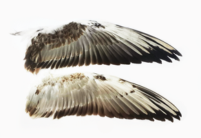 Black-headed gull's wings for TRADE by TichodromaMuraria