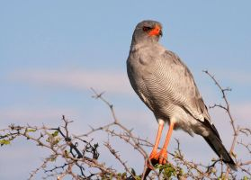 Pale-Chanting Goshawk by Lightkast