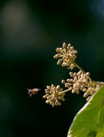 Busy Bee by chimneysweeper