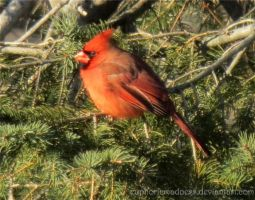 Cardinal in Evergreen Tree by euphoricmadness
