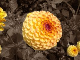 Yellow Strawflower by Natashaaaaa