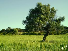Olive tree 1 by Tornquist