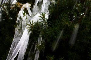 Pine Needle Icicles by MysteryWoman101