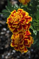 Marigolds by Kendra-Paige