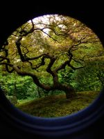 Japanes Maple Framed by MFDonovan