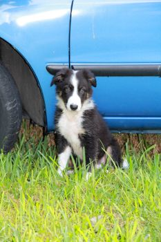 Border Collie and Blue Car by Amy2121