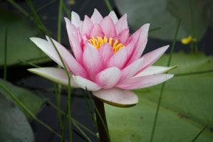 Water lily 2675 by fa-stock