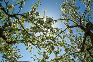 Flowering appletree nr 4 by attomanen