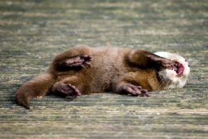baby otter - laughing by photographybypixie