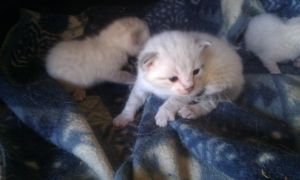 Rare Snow Bengal kittens by OccasionalSuicide