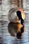 Mother Goose by Sjem20