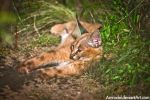 Little Caracal V by amrodel