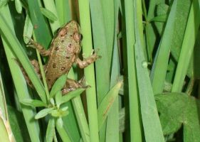Frog by whynotastock