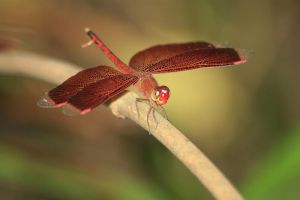 Red Balinese dragonfly 2 by AngiWallace