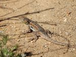 2015-0409-004 Another lizard on the trail by czoo