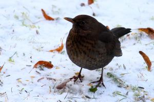 Female Blackbird in the Snow by OliverBPhotography