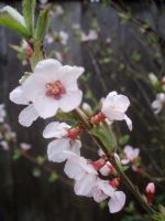Mini Cherry Blossoms II by Bwabbit