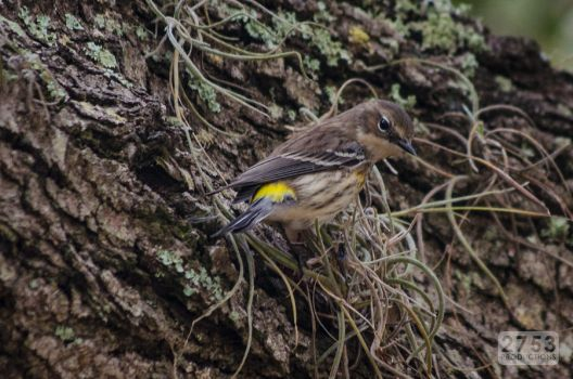 Yellow-rumped Warbler by 2753Productions