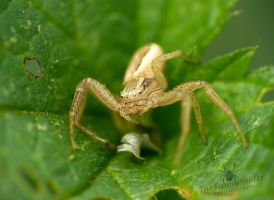 Cute white Crab Spider in Stinging Nettle by TheFunnySpider