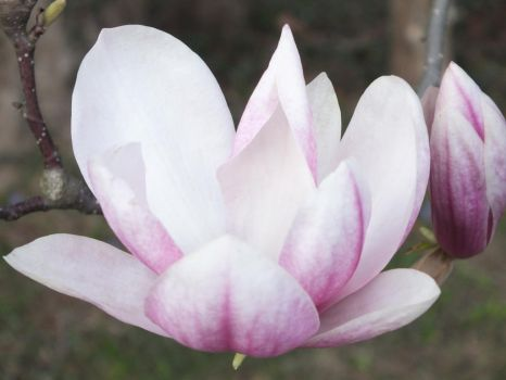 Magnolia Blossom by Sir-Real