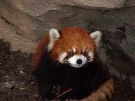 red panda by IllRebel2Anything