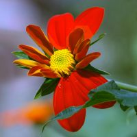 Mexican Sunflower 1 by Pablo-Toledo