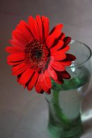Red Flower In Vase by ZoeCoombesPhoto