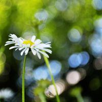 Daisies V by Justysiak