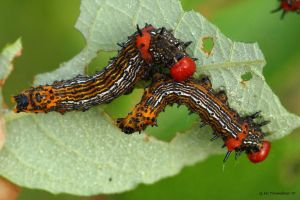 Red Humped Caterpillar II by natureguy