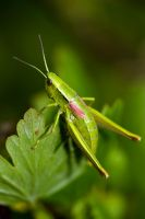Grasshopper by Gothicpagan