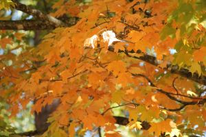 Pretty Yellow Leaves by Rjet33