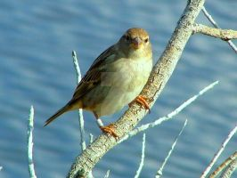 Female Spanish Sparrow by Faunamelitensis