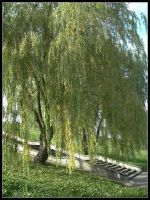 Willows by bwanot