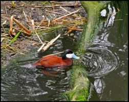 Ruddy Duck by StormPetral0509