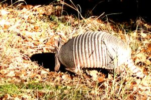 Armadillo by utlonghornalicia
