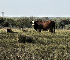 South Texas Cow by TokiiWorks