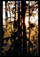 Sun in the trees... by Yancis